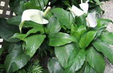 Цветок спатифиллум: как ухаживать, пересадка и размножение