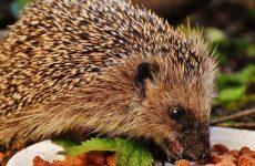 Чем питаются ежи в домашних условиях и в природе: список