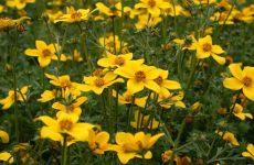 Трава череда: польза и лечебные свойства