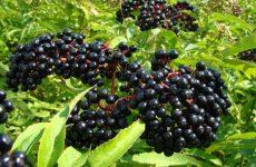 Как правильно ухаживать и принимать бузину черную в лечебных целях, польза и вред растения