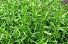 Выращивание и применение тархун травы в домашних условиях: полезные свойства и противопоказания