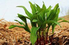 Что это за растение черемша: как приготовить, свойства, выращивание