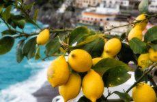 Как и для чего прививать лимон в расщеп, черенком, уход и условия плодоношения