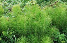 Как выглядит полевой хвощ и как применяется, какими полезными и побочными свойствами обладает